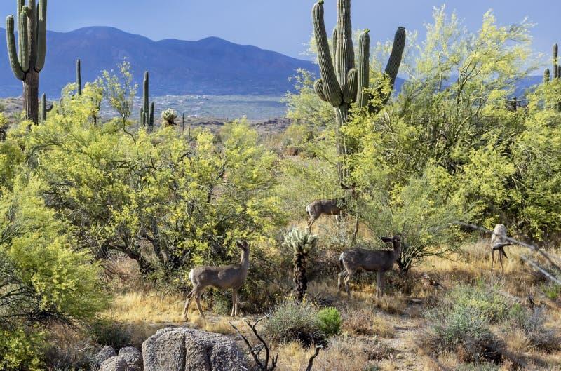 哺养在平安的索诺兰沙漠的长耳鹿 库存图片