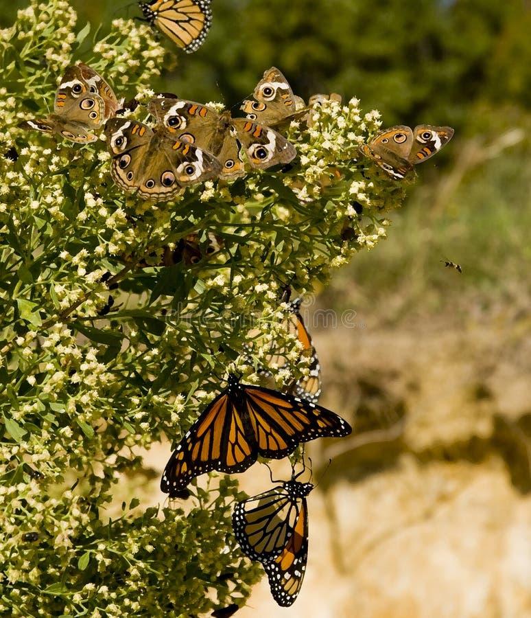 哺养在开花的灌木的黑脉金斑蝶 免版税库存照片