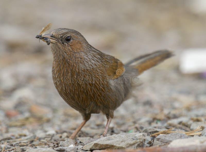 哺养在昆虫的条纹的laughingthrush被看见在pangot 免版税库存照片