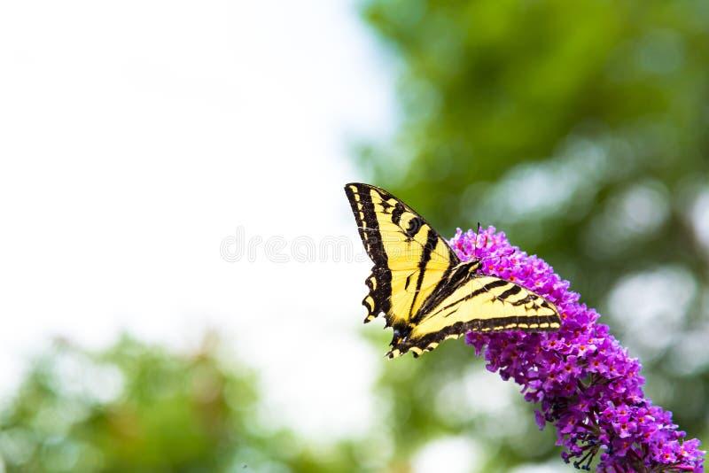 哺养在桃红色蝴蝶灌木丛的黄色和黑swallowtail蝴蝶开花 免版税库存照片