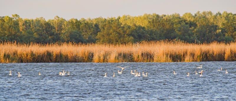 哺养在湖的白色天鹅 库存图片