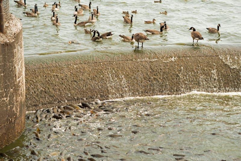 哺养在溢洪道的鲤鱼的大数 免版税图库摄影