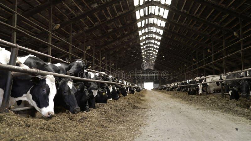 哺养在现代农场的母牛过程 哺养在牛奶农场的母牛的关闭 在奶牛场的母牛吃干草的 ?? 图库摄影