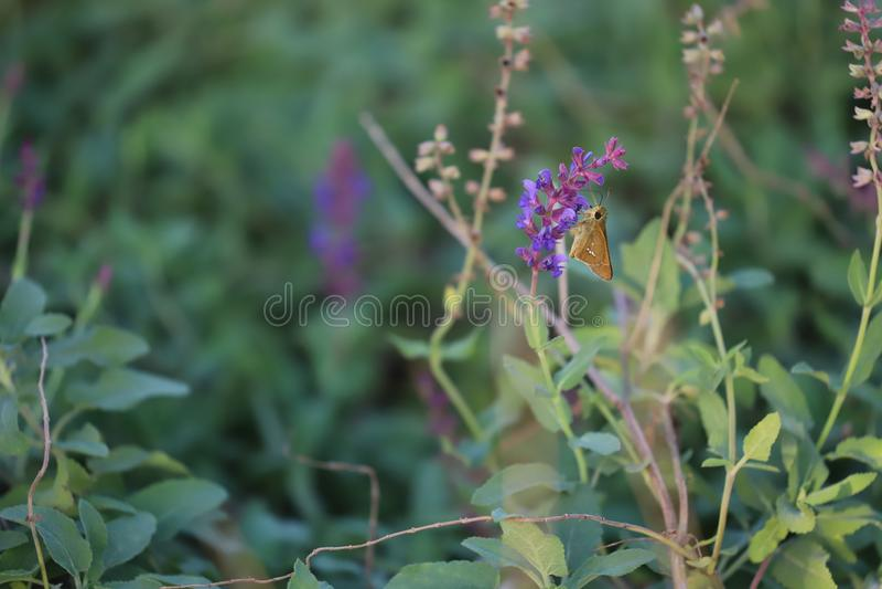 哺养在的小金飞蛾紫色和桃红色领域 库存图片