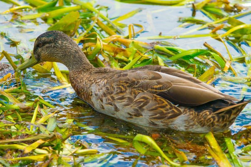 哺养在眼子菜的鸭子 免版税库存图片