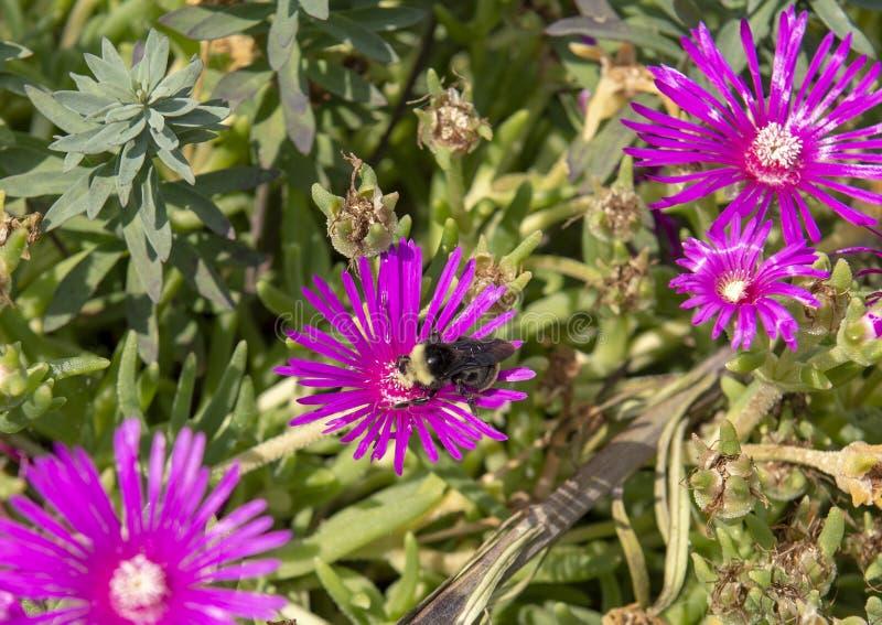 哺养在翠菊绽放的土蜂 图库摄影