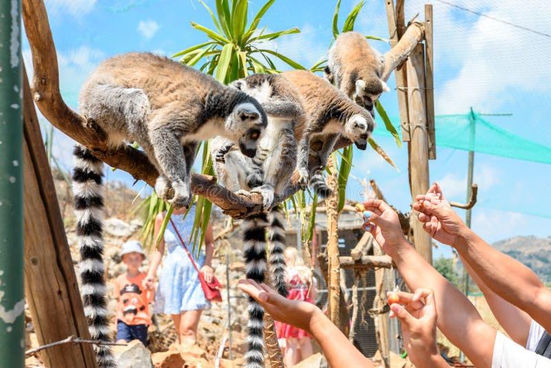 哺养在联络动物园里的环纹尾的狐猴 库存照片