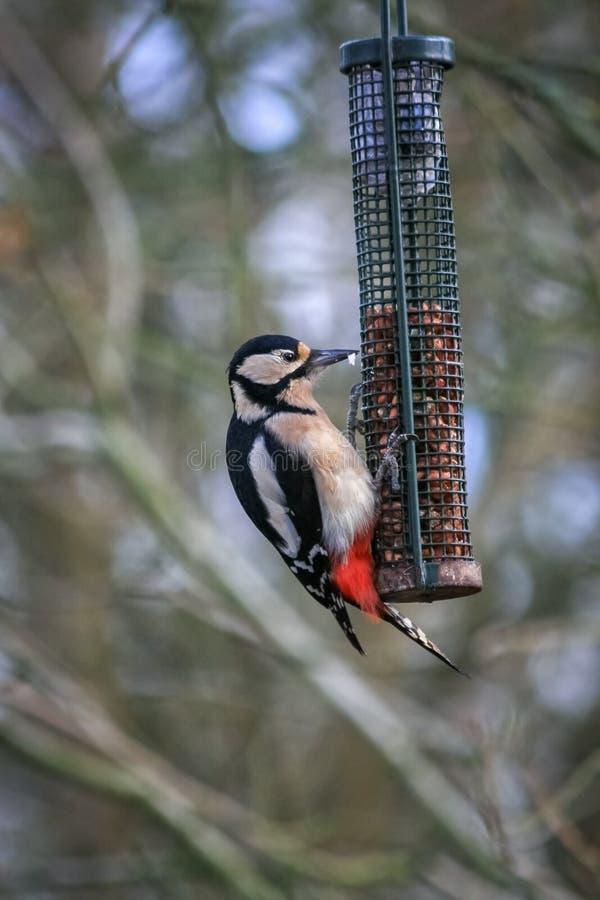 哺养在花生的伟大的被察觉的啄木鸟 免版税库存照片