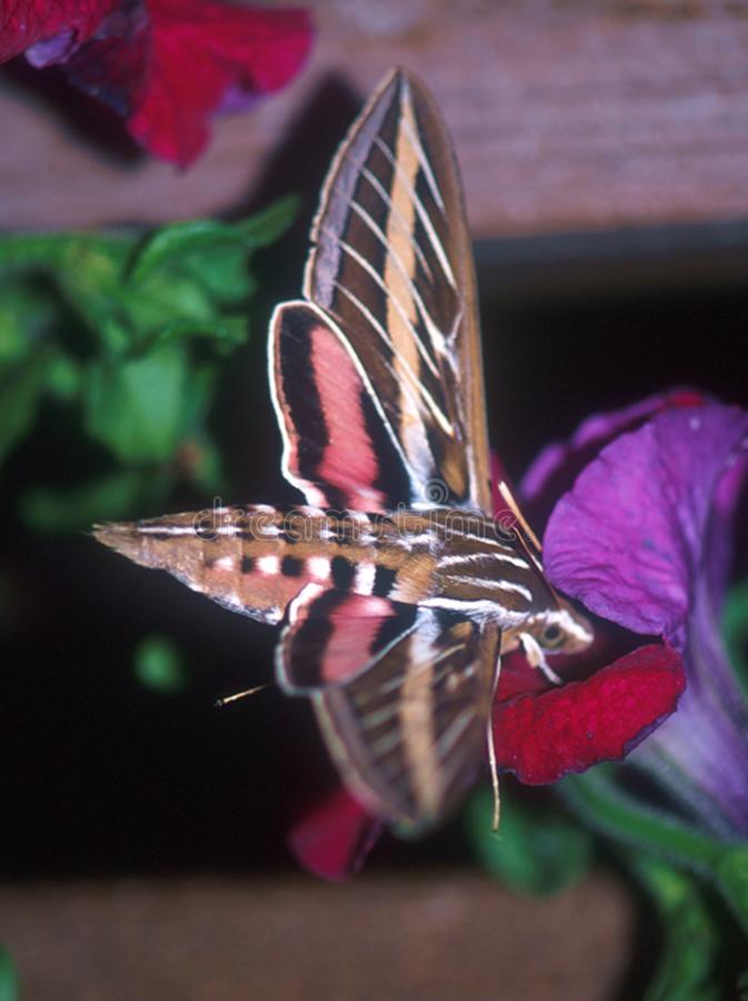 哺养在花的白线的舞毒蛾 免版税图库摄影