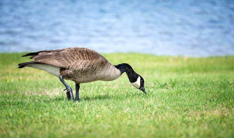 哺养在草的加拿大鹅 库存照片