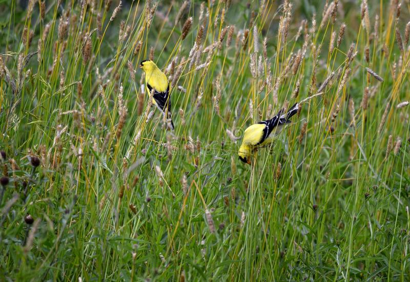 哺养在草种子的美国金翅雀 免版税库存图片