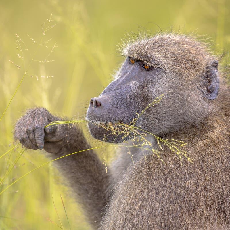 哺养在草种子insta的Chacma狒狒 库存照片
