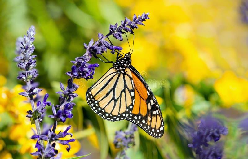 哺养在萨尔维亚花的黑脉金斑蝶 免版税库存图片