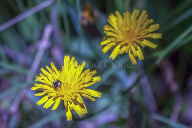 哺养在蒲公英花的杜鹃黄蜂 免版税库存图片