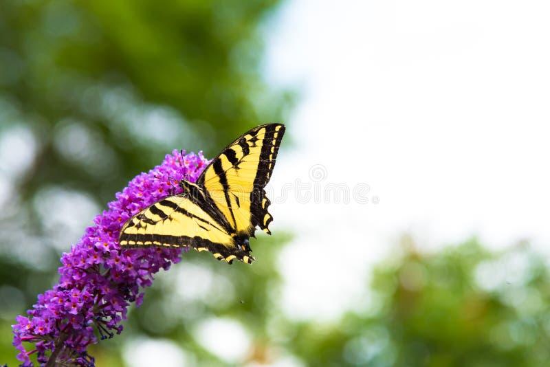 哺养在蝴蝶灌木丛的Swallowtail蝴蝶在夏天开花 免版税库存图片