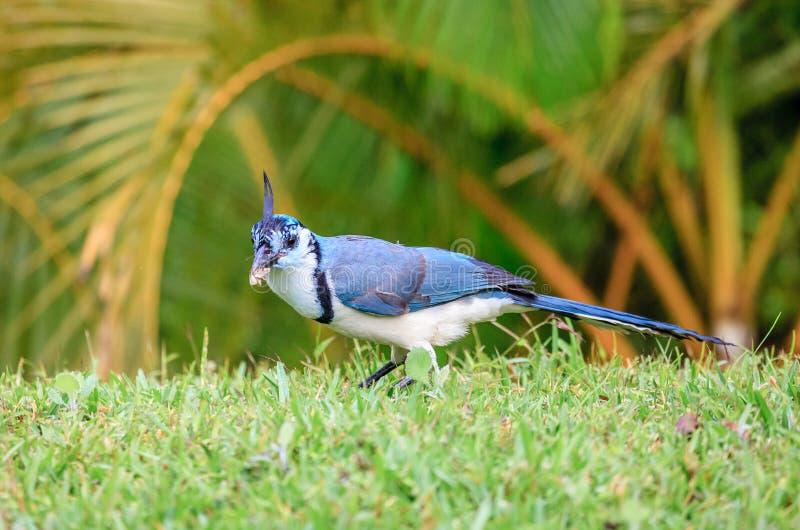 哺养在飞蛾的白红喉刺莺的鹊杰伊鸟 免版税库存图片