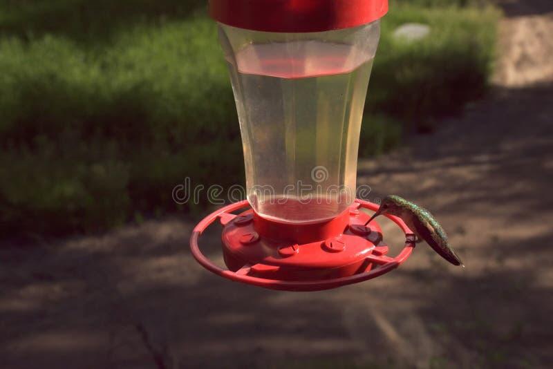 哺养在饲养者的俏丽的矮小的五颜六色的蜂鸟 免版税图库摄影