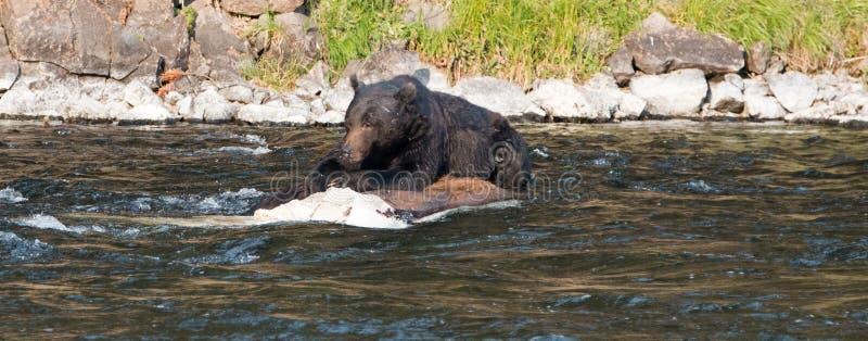 哺养在Lehardy急流的一具死的水牛城尸体的北美灰熊公猪在黄石国家公园在怀俄明美国 库存照片