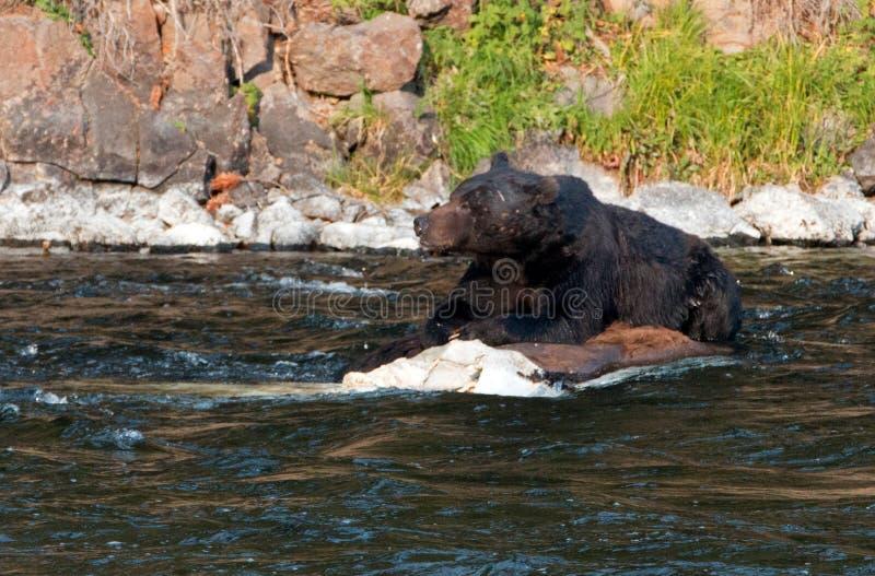 哺养在Lehardy急流的一具死的水牛城尸体的北美灰熊公猪在黄石国家公园在怀俄明美国 免版税库存图片
