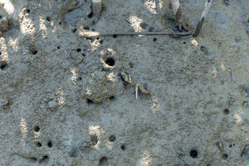 哺养在mudflats的美洲红树螃蟹在低潮期间 Sesarma mederi 免版税库存图片