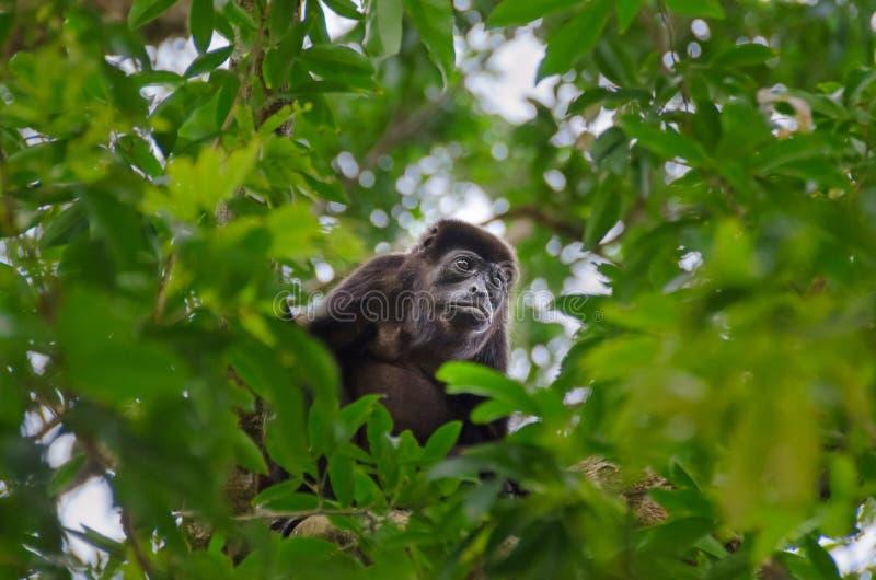 哺养在Tortuguero国家公园,哥斯达黎加的被覆盖的咆哮 图库摄影