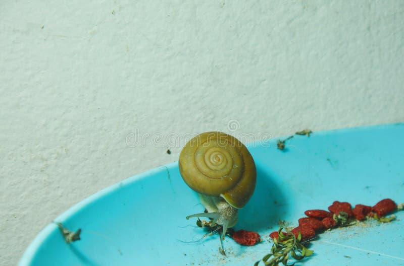 哺养干燥叶子和立即猫食在塑料盘子的蜗牛在夜 免版税库存照片