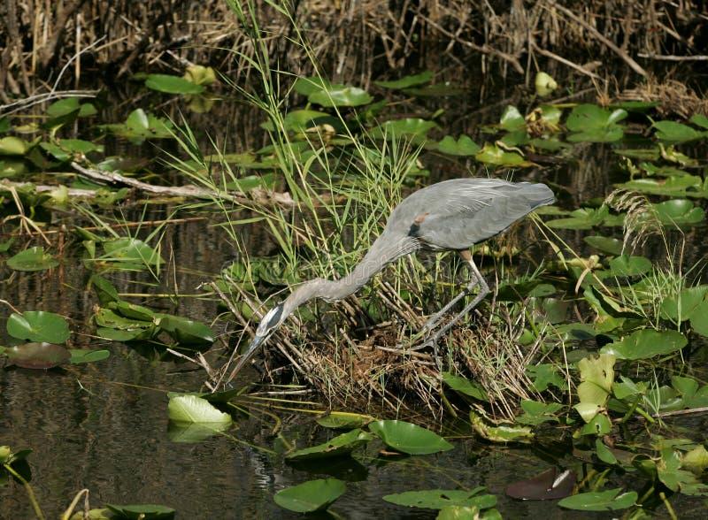哺养由湖的一只蓝色苍鹭 免版税图库摄影