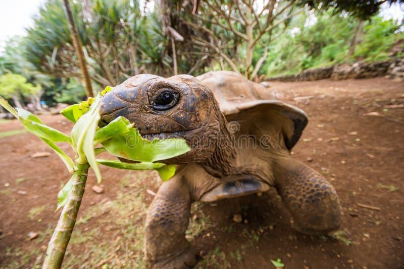 哺养的大乌龟在La Vanille自然公园,毛里求斯 库存图片