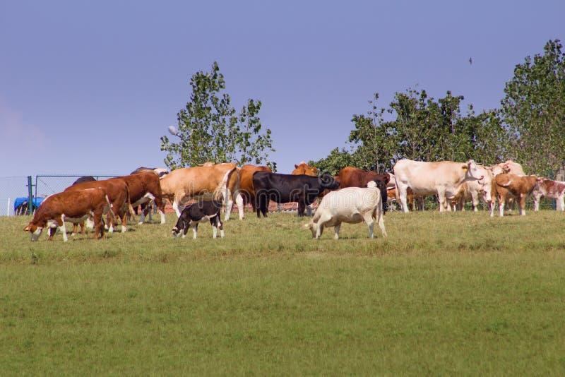 哺养的母牛牧群在草甸 免版税库存图片