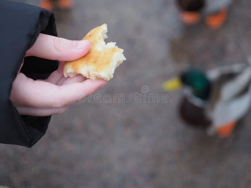 哺养的野鸭鸭子 库存照片