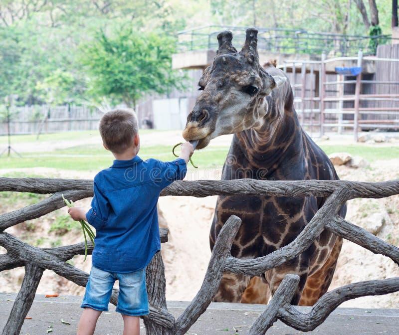 哺养的长颈鹿在动物园里 免版税库存照片