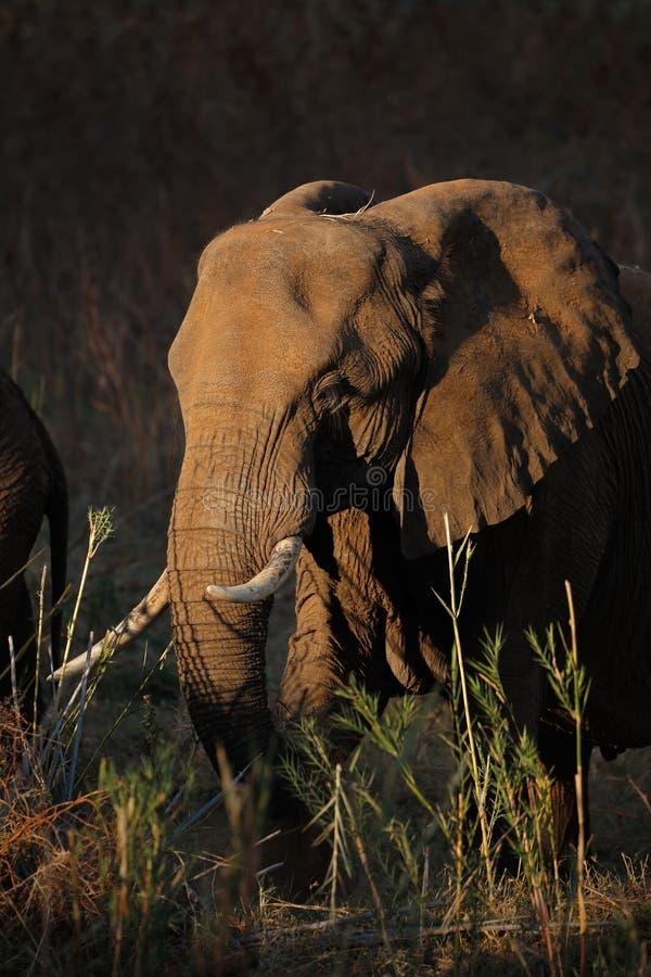 哺养的非洲大象-克留格尔国家公园 免版税库存照片