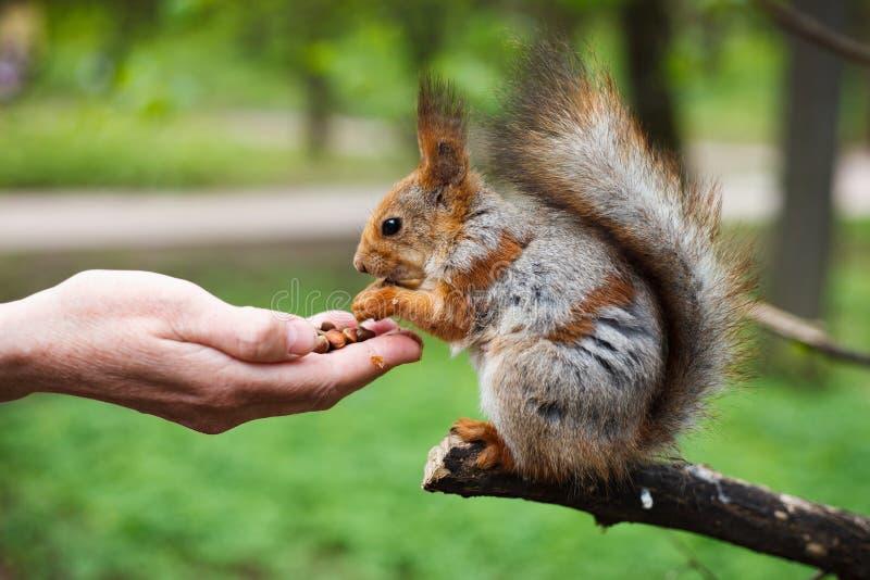 哺养的squirell在室外绿色的公园 免版税库存图片