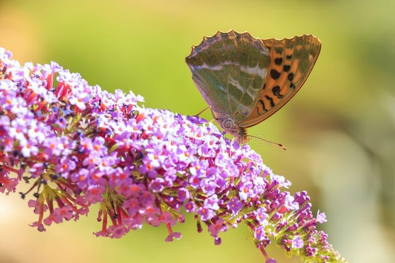 哺养银被洗涤的贝母Argynnis paphia的蝴蝶  库存照片