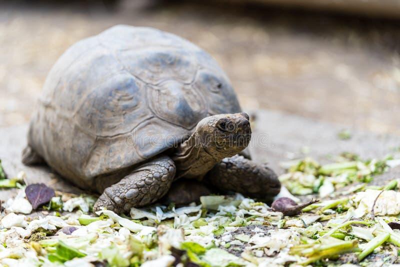 哺养非常轻松的草龟乌龟 库存照片