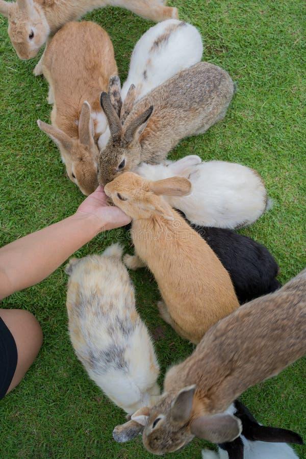 哺养兔子 免版税库存图片
