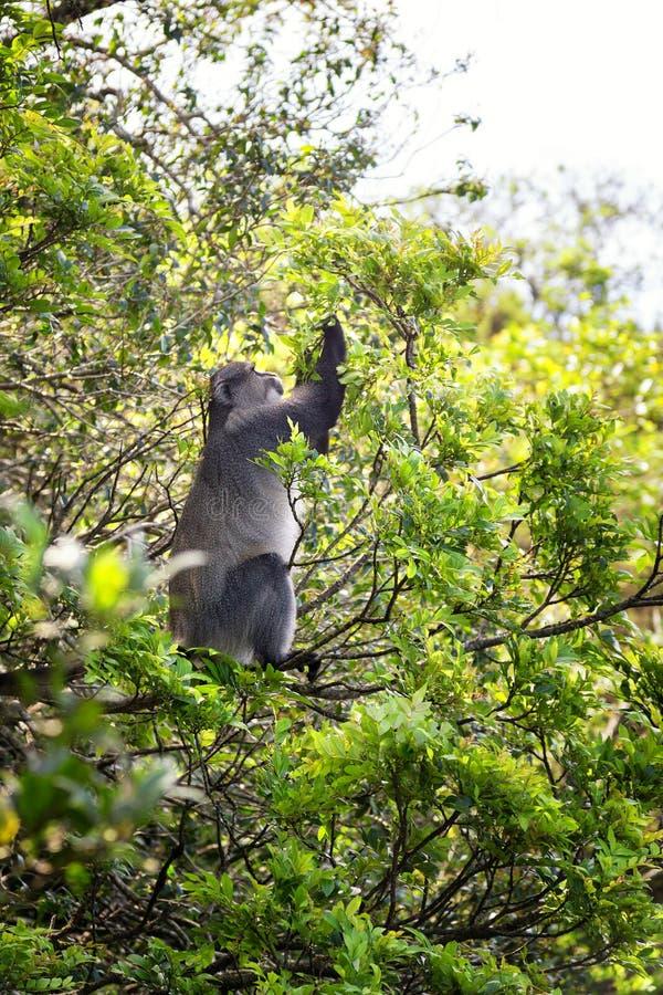 哺养在叶子的Samango猴子 库存图片