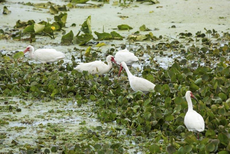 哺养在奥兰多沼泽地的小组白色朱鹭停放 免版税库存图片