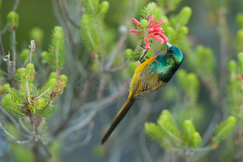 哺养在桌山南非的Sunbird 免版税库存照片