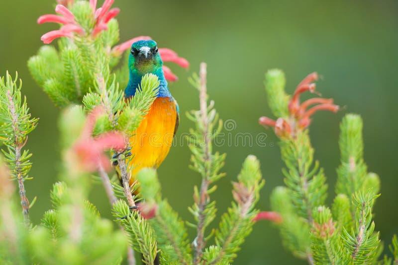 哺养在桌山南非的Sunbird 免版税图库摄影