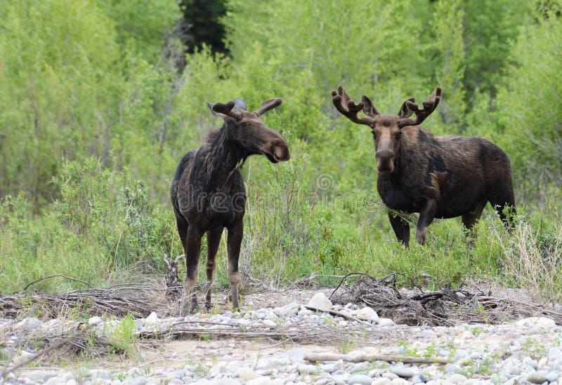 哺养在河附近的对麋 免版税图库摄影