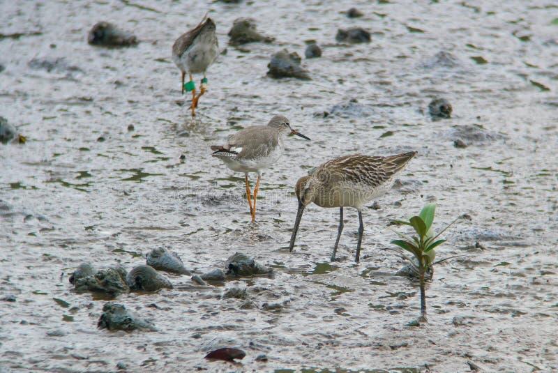 哺养在泥滩的亚洲长嘴半蹼鹬 免版税库存图片