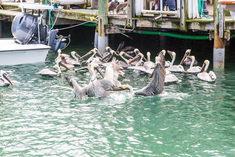 哺养在渔船坞的鹈鹕 图库摄影