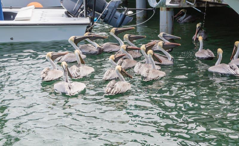 哺养在渔船附近的鹈鹕 库存照片