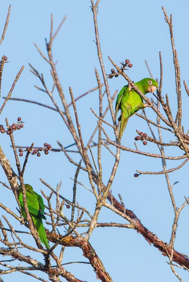 哺养在狂放的果子的一只嬉戏的古巴长尾小鹦鹉 免版税库存照片