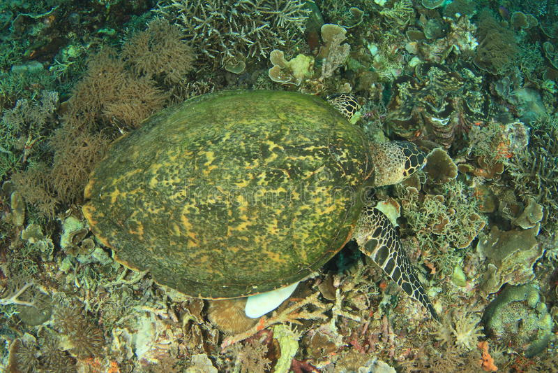 哺养在珊瑚的绿海龟 库存图片