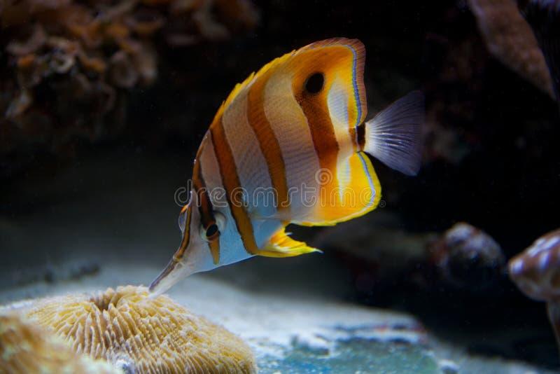 哺养在珊瑚礁的Copperband蝴蝶鱼 免版税图库摄影