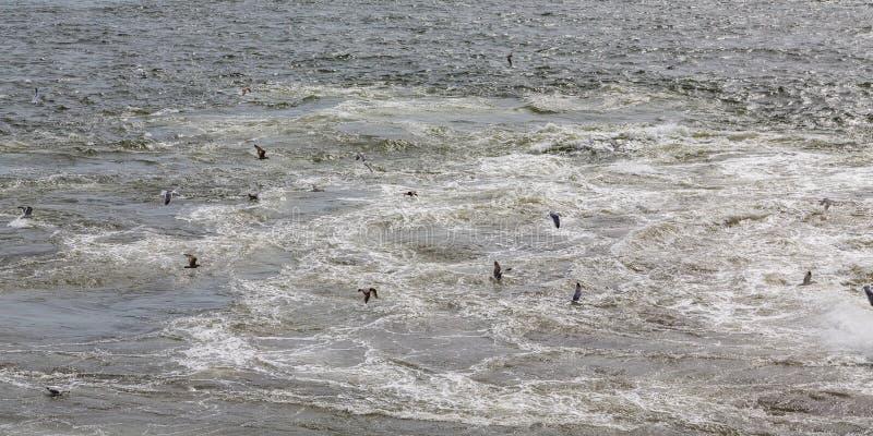 哺养在船回流的海鸥 图库摄影