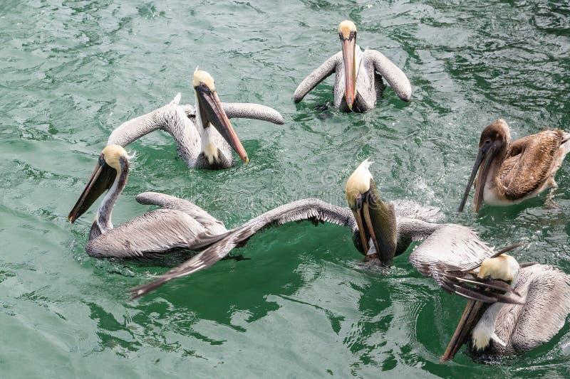 哺养在绿色水中的鹈鹕 免版税图库摄影