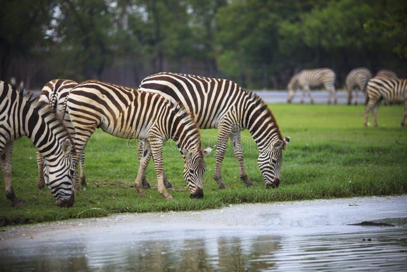 哺养在绿草徒步旅行队野生生物题材的野外使用的斑马 免版税图库摄影